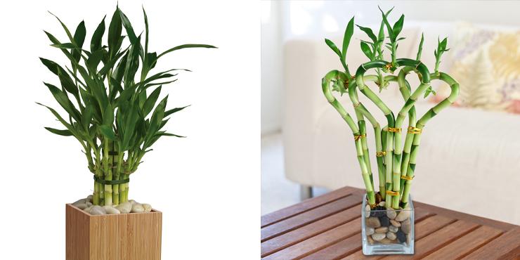 Бамбук комнатный. Как обеспечить правильный уход за растением?