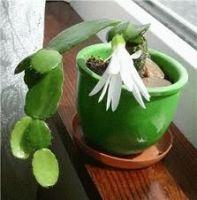 Декабрист цветок уход в домашних условиях