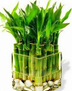 пожелтели листья бамбука