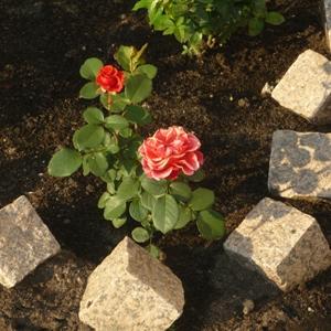 Подготовка места для роз