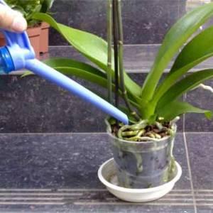 Правильный полив орхидей