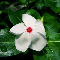 барвинок белый