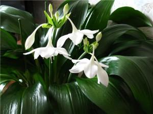 Амазонская лилия или Эухарис, уход и размножение в домашних условиях