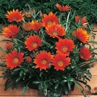 Цветок мирт уход в домашних условиях