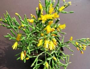 хатиора цветок