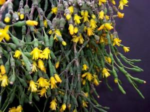 хатиора цветы