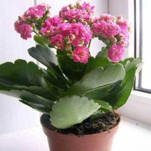 каланхоэ цветок