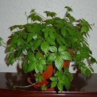 комнатное растение березка