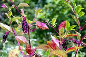 Растение фитолакка