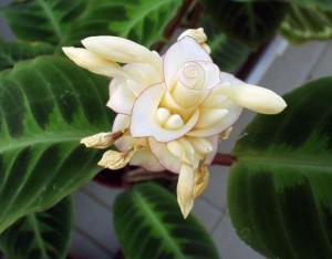 Цветок маранта