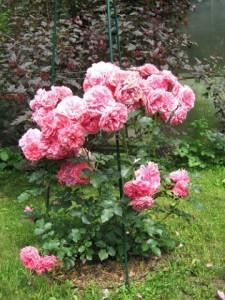 плетистая роза посадка