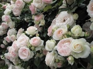 плетистые белые розы