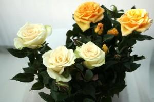 Догляд за китайською трояндою в домашніх умовах