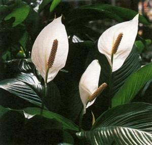 Спатифиллум чернеют листья