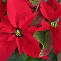 уход в домашних условиях за цветком Рождественская звезда