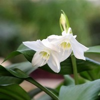 Цветок аихризон фото