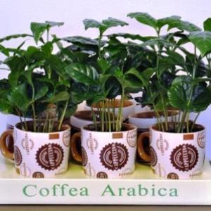 Растение кофе арабика в домашних условиях