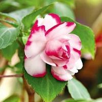 Цветы мужское счастье