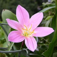 Жасмин цветок комнатный