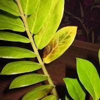 зеленый лист замиокулькаса