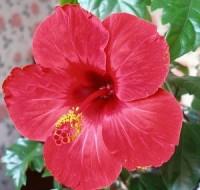 Многих интересует вопрос – почему «гибискус» называют цветок смерти? Как ухаживать за растением?