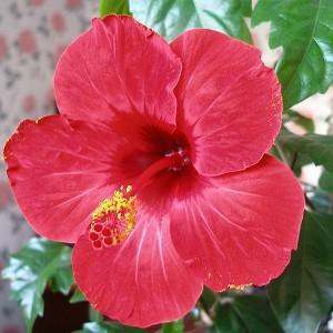 Гибискус значение цветка в доме