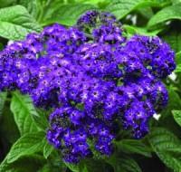 Способы выращивания цветка «гелиотроп» в домашних условиях с помощью семян или черенков.