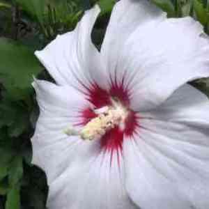 Размножение цветка черенками и отводками