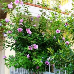 Режим полива и подкормка цветка