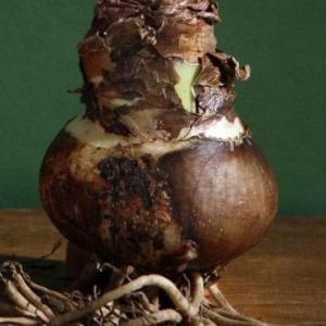 Выбор луковицы при покупке и их пересадка