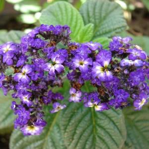 Выращивание в качестве комнатного растения