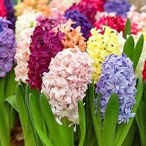 качественный уход за цветами «гиацинты»