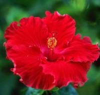 Разберемся, как влияет Китайская роза на личную жизнь, почему гибискус называют цветком смерти?