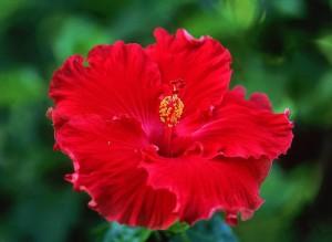 китайская роза цветок