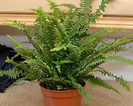 нефролепис растение