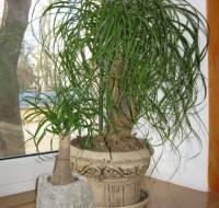 Как растет Нолина и какой правильный уход в домашних условиях для растения.