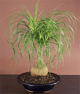 нолина растение