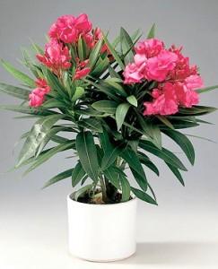 олеандр цветок