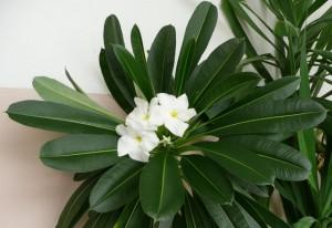 пахиподиум цветы