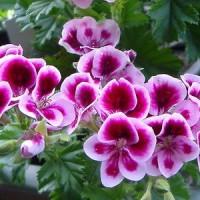 пеларгония цветы