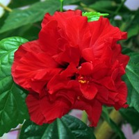 почему гибискус цветок смерти