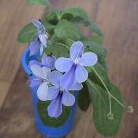 растение клеродендрум угандийский