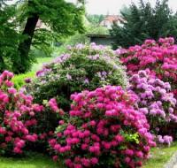 Как выбрать Рододендрон, основы выращивания и ухода для начинающих.