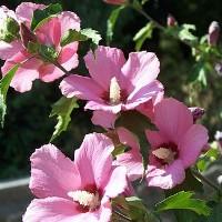 уход и размножение садового гибискуса