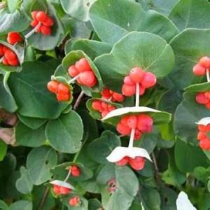 ягоды жимолости каприфоль