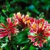 Расскажем о времени посадки Жимолости каприфоль, а также основные моменты ухода и размножение цветка!